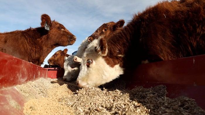 SHR Cows Feeding